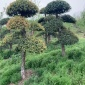 供应绿化树刺冬青 四季常青造型树刺冬青