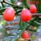 湖南省永州市红豆杉苗,红豆杉盆栽盆景,各种规格优良珍贵植物