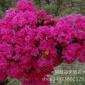 江西省景德镇市适合种植树木,绿化树苗,盆景素材,花木品种苗